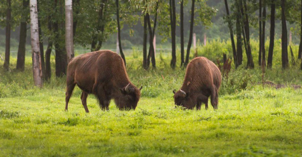 Wycieczki szkolne uwaga bizon